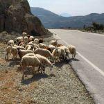 Schafe grasen am Straßenrand